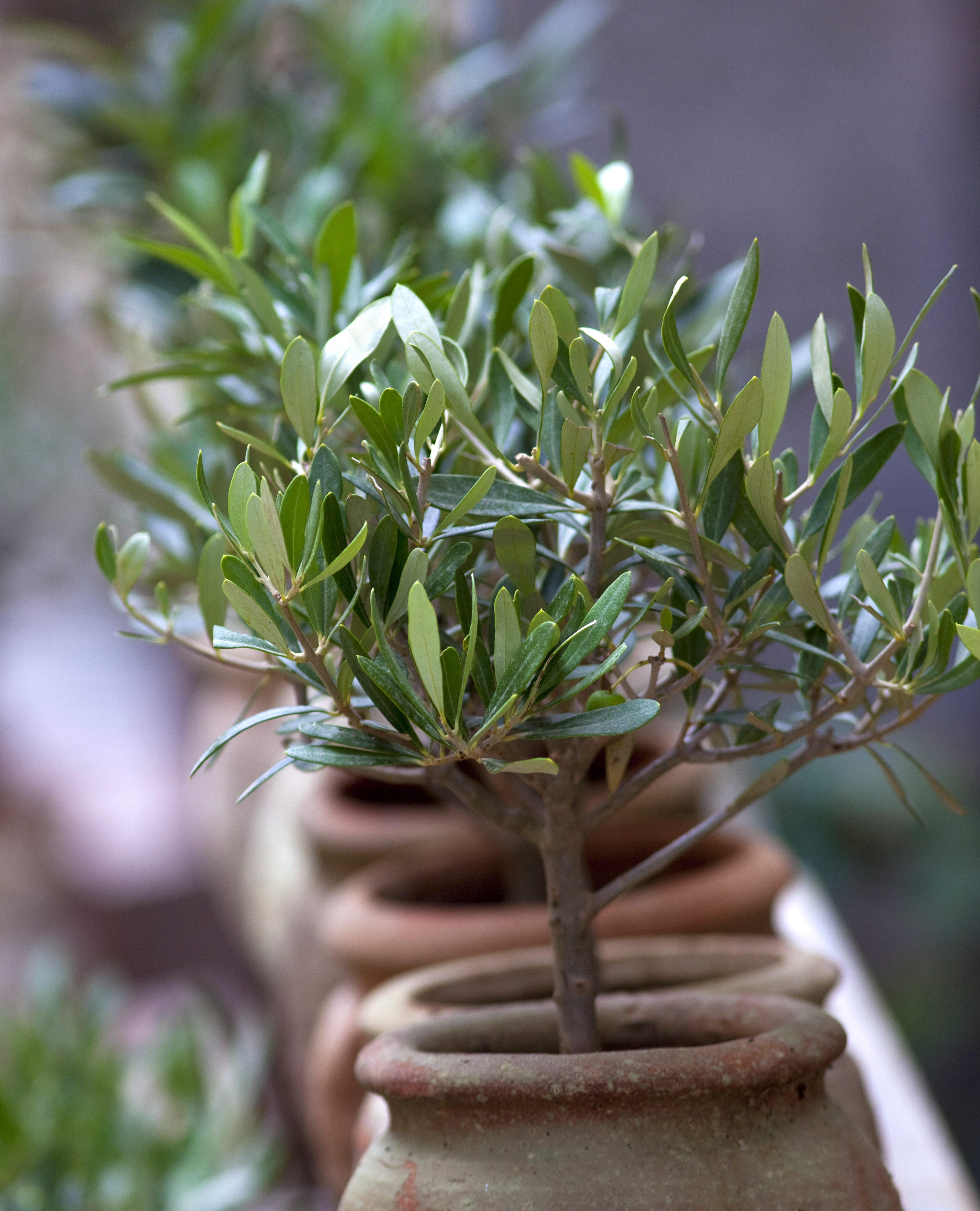 Olivier, olive, plante, sud, méditerranée, arbre, jardin, parc
